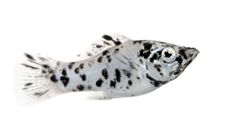 sailfin: Sailfin molly - Dalmatian Molly - Poecilia latipinna in front of a white background