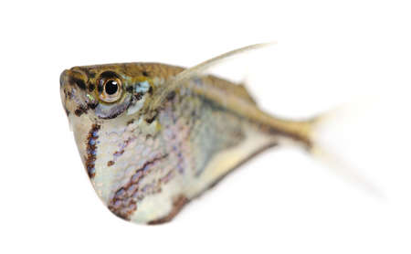 Common hatchetfish - Gasteropelecus sternicla in front of a white background Stock Photo - 4215233