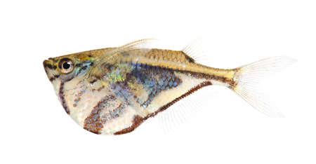 Common hatchetfish - Gasteropelecus sternicla in front of a white background Stock Photo - 4215370