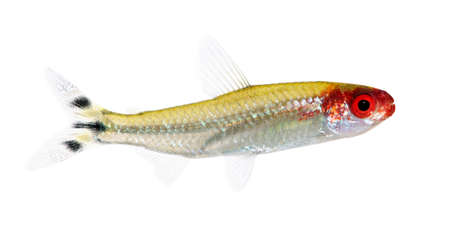 submersion: Hemigrammus bleheri fish in front of a white background Stock Photo