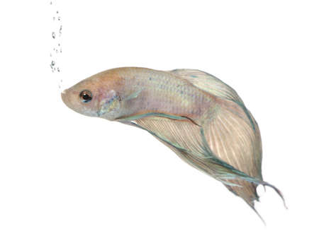 caudal: Siamese fighting fish - Betta Splendens in front of a white background
