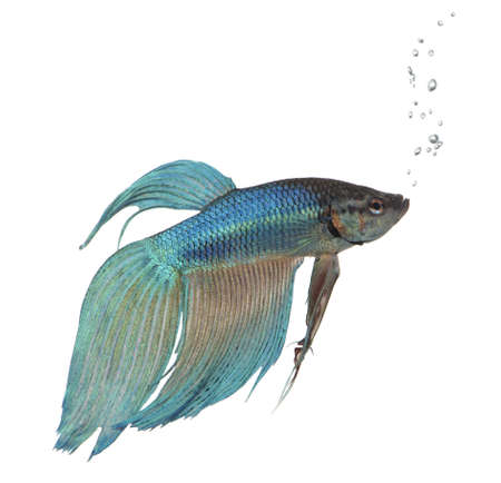 caudal: blue Siamese fighting fish  - Betta Splendens in front of a white background Stock Photo