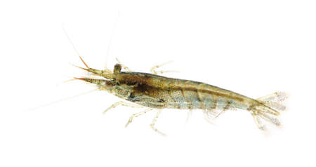 submersion: Cherry shrimp - Neocaridina heteropoda in front of a white background
