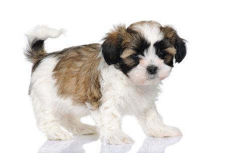 puppy mieszanym Rasa psa między Shih Tzu i maltański psa (7 tygodni), z przodu białe tło Zdjęcie Seryjne - 4215380