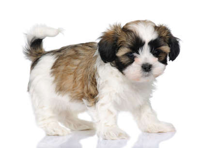 moggy: puppy mixed-Breed Dog between Shih Tzu and maltese dog (7 weeks) in front of a white background