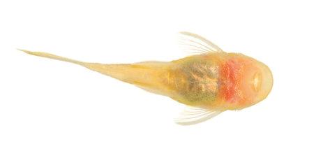 hyphessobrycon: bushy nose  - Goldspot Ancistrus Albino in front of a white background