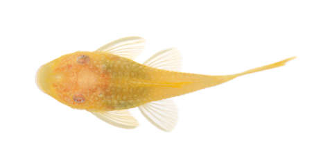 bushy nose  - Goldspot Ancistrus Albino in front of a white background photo