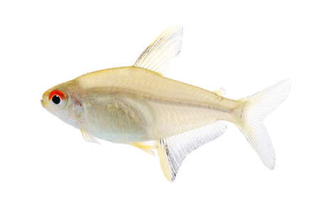 Hyphessobrycon bentosi fish in front of a white background Stock Photo - 4215234