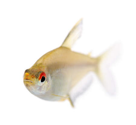 Hyphessobrycon bentosi fish in front of a white background Stock Photo - 4215221