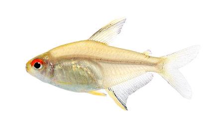 hyphessobrycon: Hyphessobrycon bentosi fish in front of a white background