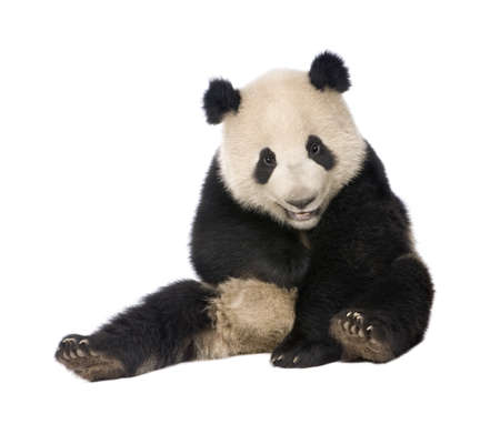 sit studio: Giant Panda  (18 months)  - Ailuropoda melanoleuca in front of a white background