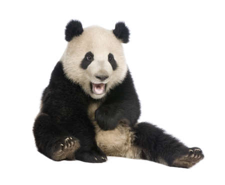 oso negro: Panda gigante (18 meses) - Ailuropoda melanoleuca delante de un fondo blanco Foto de archivo