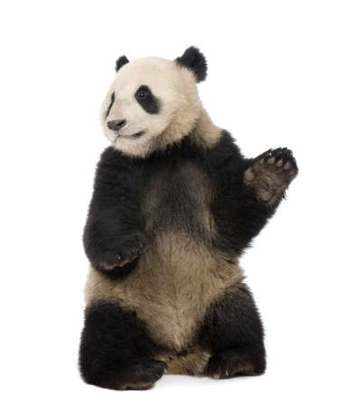 oso panda: Panda gigante (18 meses) - Ailuropoda melanoleuca delante de un fondo blanco Foto de archivo