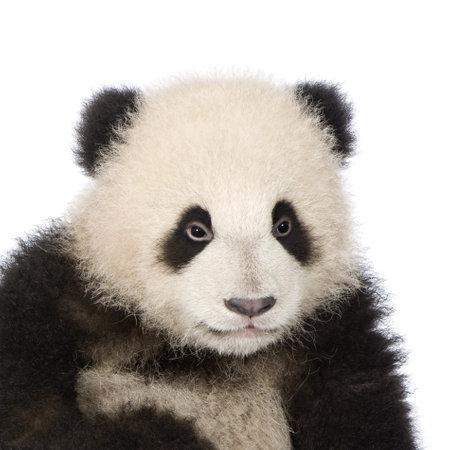 giant panda: Giant Panda  (6 months)  - Ailuropoda melanoleuca in front of a white background