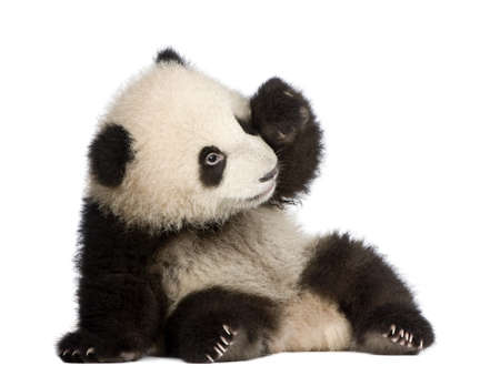 oso panda: Panda gigante (6 meses) - Ailuropoda melanoleuca delante de un fondo blanco Foto de archivo
