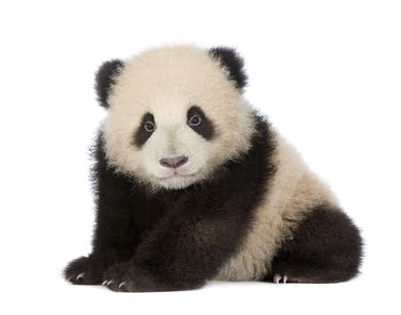 baby bear: Giant Panda  (6 months)  - Ailuropoda melanoleuca in front of a white background