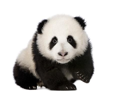 ourson: Panda g�ant (4 mois) - Ailuropoda melanoleuca en face de fond blanc  Banque d'images