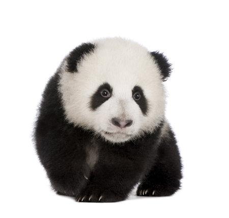 cachorro: Giant Panda (4 meses) - Ailuropoda melanoleuca delante de un fondo blanco