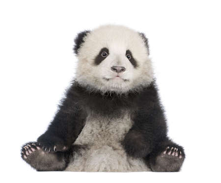 cub: Giant Panda  (6 months)  - Ailuropoda melanoleuca in front of a white background