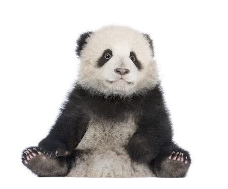 cachorro: Panda gigante (6 meses) - Ailuropoda melanoleuca delante de un fondo blanco Foto de archivo