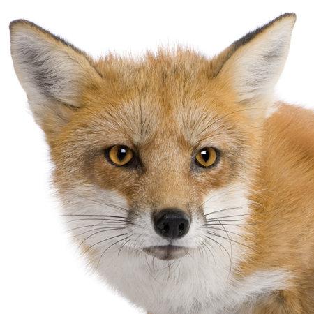 volpe rossa: Red Fox (4 anni) - Vulpes vulpes di fronte a uno sfondo bianco