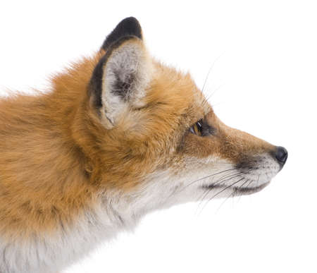 Red fox (4 years) - Vulpes vulpes in front of a white background Stock Photo