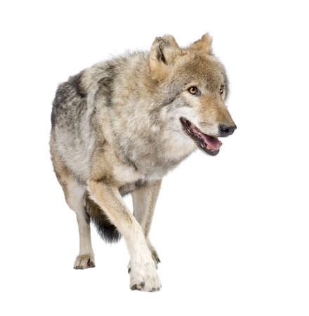 gray wolf: old European wolf - Canis lupus lupus in front of a white background