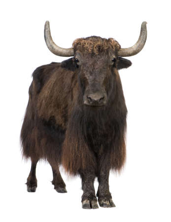 Yak in front of a white background Stock Photo