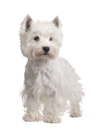 highlands: West Highland White Terrier (3 years) in front of a white background