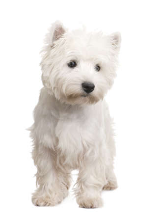 terriers: West Highland White Terrier (8 months) in front of a white background