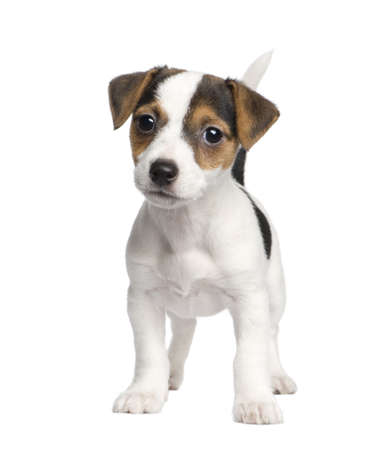 jack russell terrier puppy: puppy Jack russell (8 weeks) in front of a white background