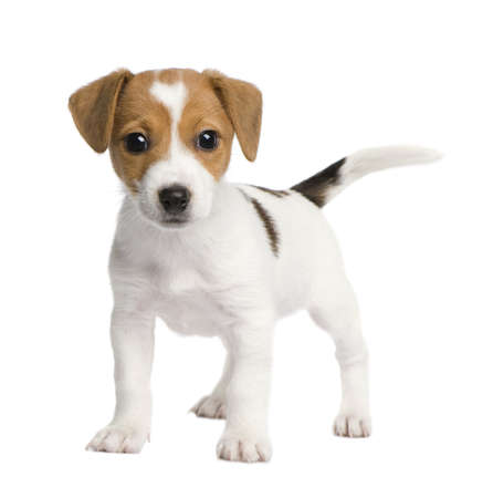 Puppy Jack russell (7 weeks) in front of a white background