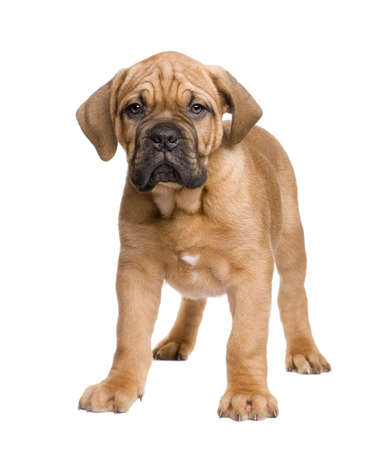 molosse: Dogue de Bordeaux puppy (2 months) in front of a white background