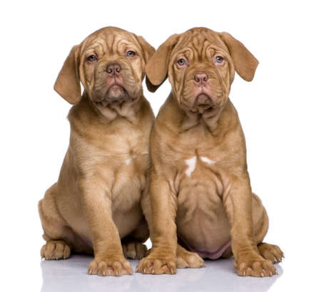 dogue: Dogue de Bordeaux puppy (2 months) in front of a white background
