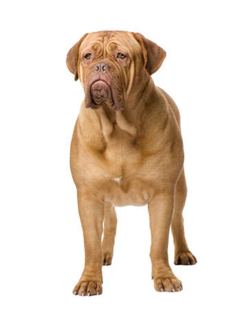 molosse: Dogue de Bordeaux (2 years) in front of a white background