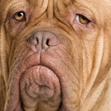 dogue: Dogue de Bordeaux (2 years) in front of a white background
