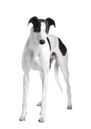greyhound: Greyhound in front of a white background Stock Photo