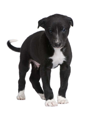 Greyhound puppy (6 weeks) in front of a white background photo