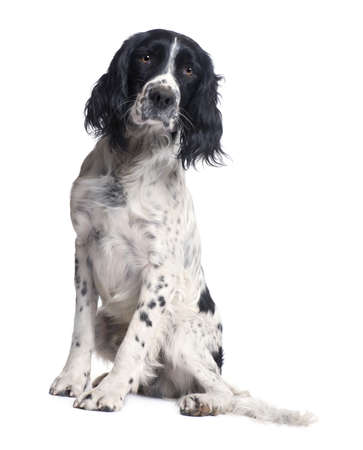 spaniel: English Springer Spaniel (1 year) in front of a white background