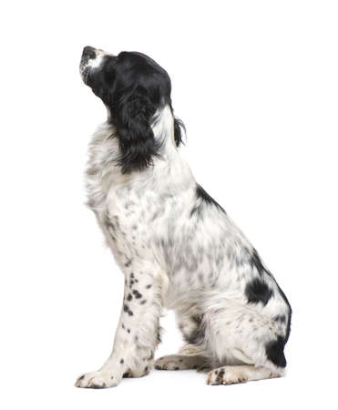 springer: English Springer Spaniel (1 year) in front of a white background