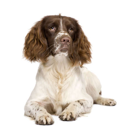 purebreed: English Springer Spaniel (10 months) in front of a white background Stock Photo