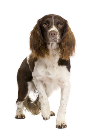 alertness: English Springer Spaniel (2 years) in front of a white background Stock Photo
