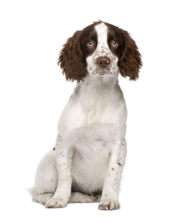 whelp: English Springer Spaniel puppy (4 months) in front of a white background