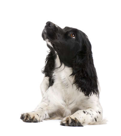 spaniel: English Springer Spaniel (2 years) in front of a white background Stock Photo