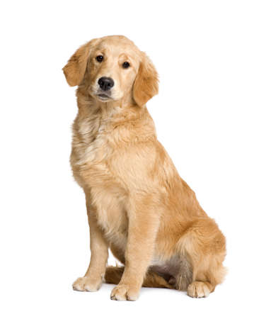 golden retriever puppy: Golden Retriever puppy (5 months) in front of a white background