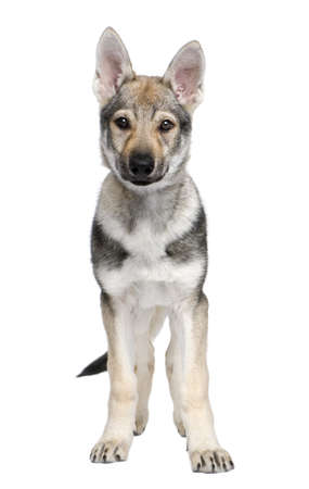 pups: Czechoslovakian Wolfdog puppy (3 months) in front of a white background