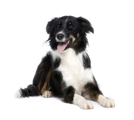 border collie: Border Collie Breed (1.5 years) in front of a white background Stock Photo