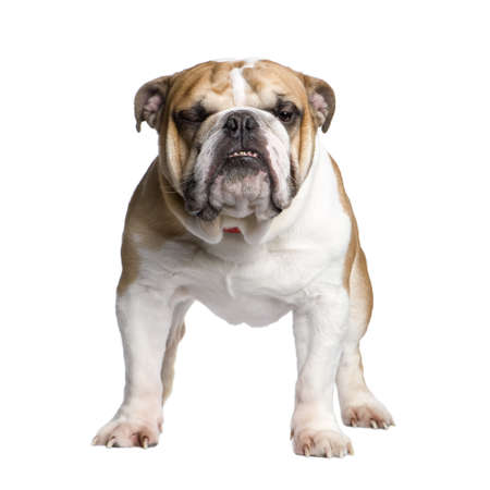 english Bulldog (3 years) in front of a white background