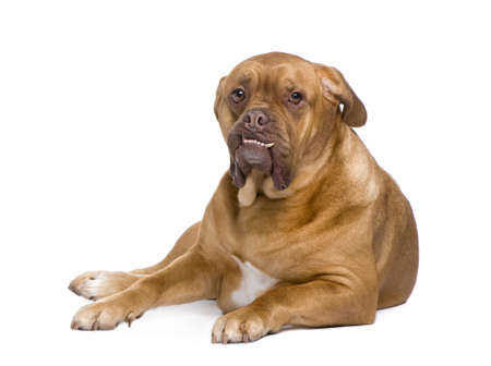 stitting: Dogue de Bordeaux (3 years) in front of a white background Stock Photo