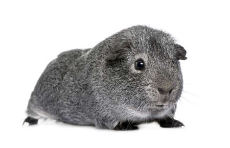 guinea: guinea pig in front of a white background Stock Photo